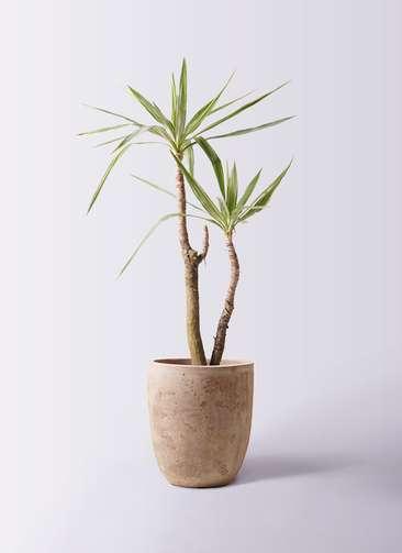 観葉植物 ユッカ 8号 斑入り ルーガ アンティコ アルトエッグ 付き