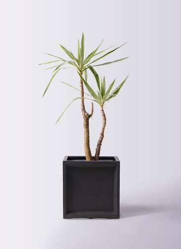 観葉植物 ユッカ 8号 斑入り ブリティッシュキューブ 付き
