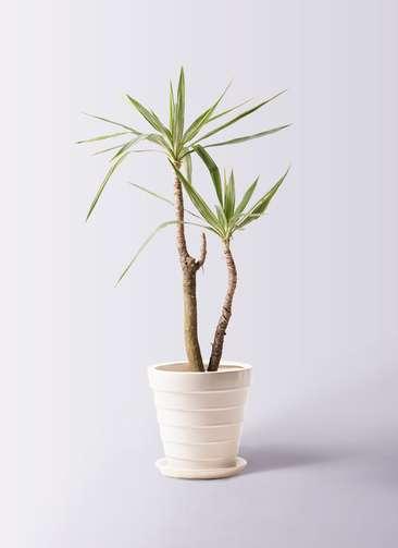 観葉植物 ユッカ 8号 斑入り サバトリア 白 付き