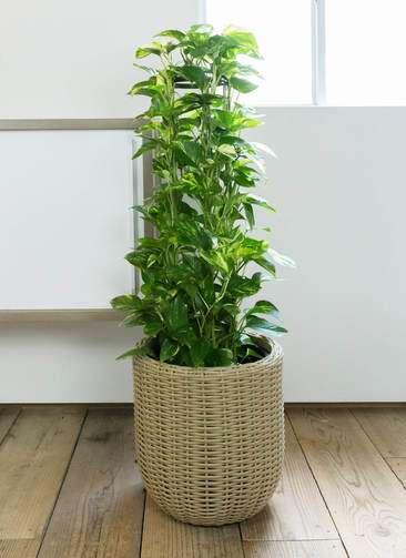 観葉植物 ポトス 8号 ウィッカーポット エッグ NT ベージュ 付き