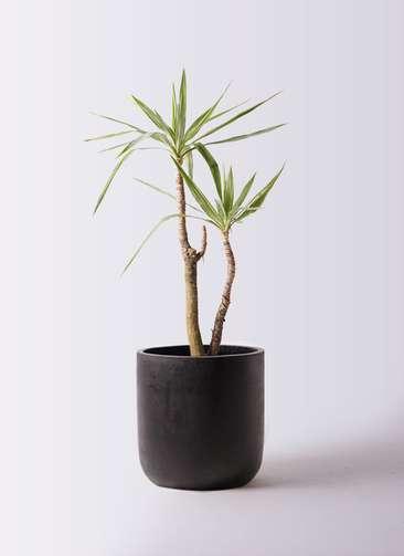 観葉植物 ユッカ 8号 斑入り エルバ 黒 付き