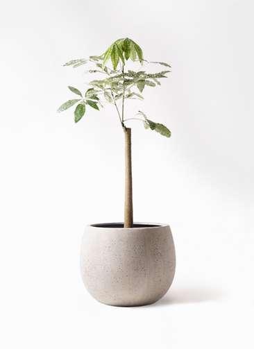 観葉植物 パキラ 8号 朴 斑入り テラニアス ローバルーン アンティークホワイト 付き