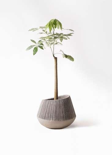 観葉植物 パキラ 8号 朴 斑入り エディラウンド グレイ 付き