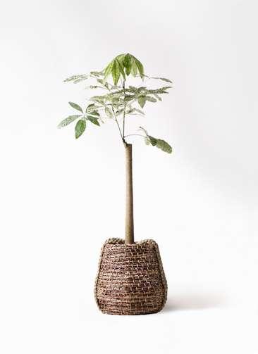 観葉植物 パキラ 8号 朴 斑入り リゲル 茶 付き