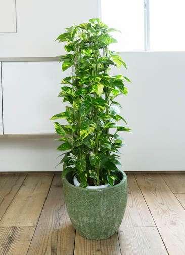 観葉植物 ポトス 8号 アビスソニア ミドル 緑 付き