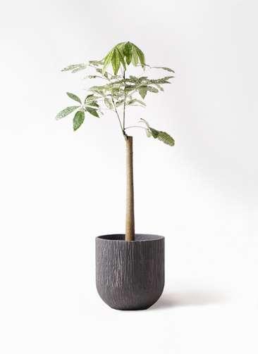 観葉植物 パキラ 8号 朴 斑入り カルディナダークグレイ 付き