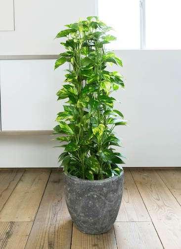 観葉植物 ポトス 8号 アビスソニア ミドル 灰 付き