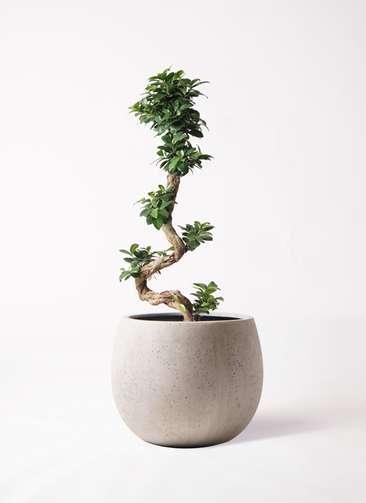 観葉植物 ガジュマル 8号 曲り テラニアス ローバルーン アンティークホワイト 付き