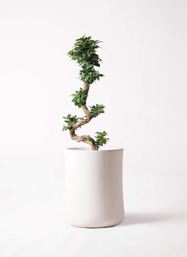 観葉植物 ガジュマル 8号 曲り バスク ミドル ホワイト 付き