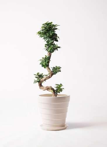 観葉植物 ガジュマル 8号 曲り サバトリア 白 付き