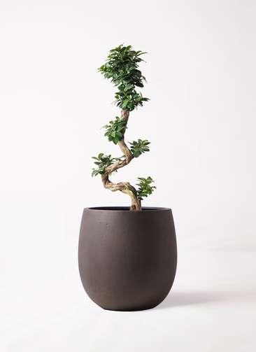 観葉植物 ガジュマル 8号 曲り テラニアス バルーン アンティークブラウン 付き