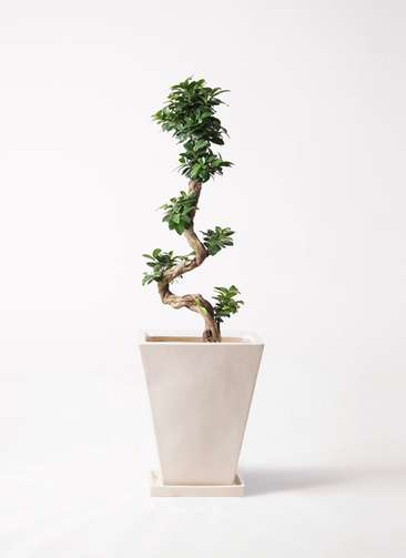 観葉植物 ガジュマル 8号 曲り スクエアハット 白 付き