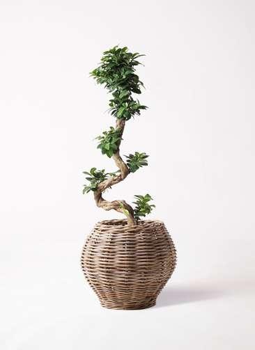 観葉植物 ガジュマル 8号 曲り グレイラタン 付き