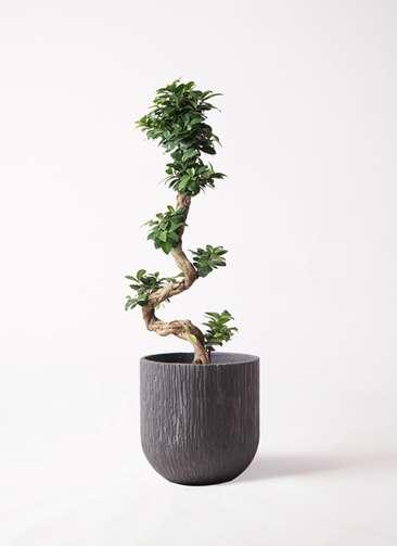 観葉植物 ガジュマル 8号 曲り カルディナダークグレイ 付き