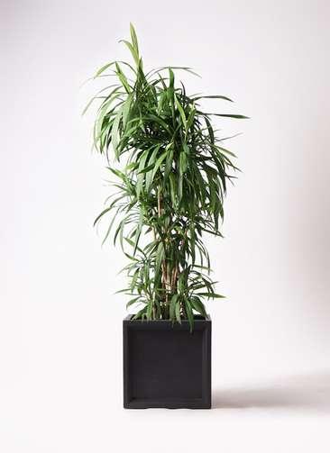 観葉植物  コルディリネ (コルジリネ) ストリクタ 10号 10号 ブリティッシュキューブ 付き