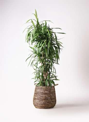 観葉植物  コルディリネ (コルジリネ) ストリクタ 10号 10号 リゲル 茶 付き