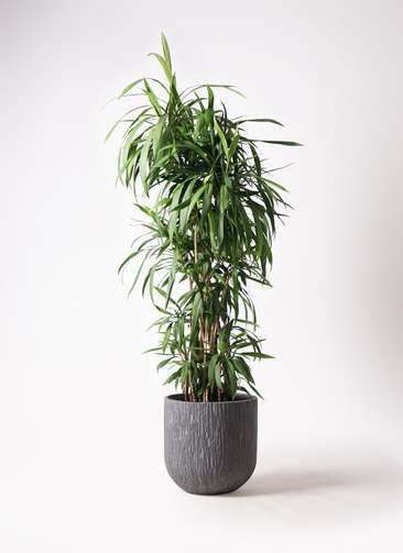 観葉植物  コルディリネ (コルジリネ) ストリクタ 10号 10号 カルディナダークグレイ 付き