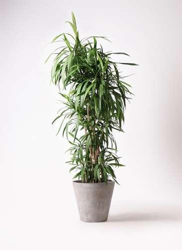 観葉植物  コルディリネ (コルジリネ) ストリクタ 10号 10号 アートストーン ラウンド グレー 付き