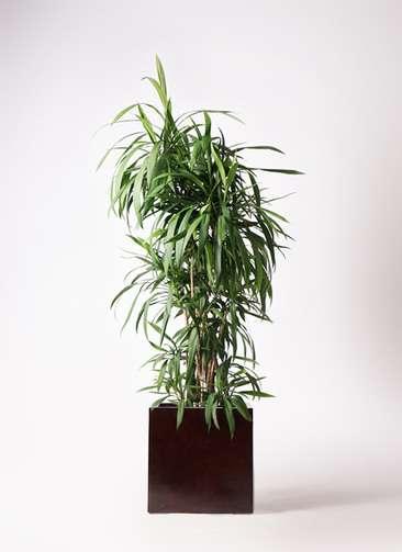 観葉植物  コルディリネ (コルジリネ) ストリクタ 10号 10号 MOKU キューブ 付き