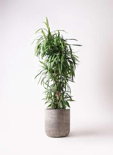 観葉植物  コルディリネ (コルジリネ) ストリクタ 10号 10号 エルバ 白 付き
