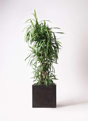 観葉植物  コルディリネ (コルジリネ) ストリクタ 10号 10号 ファイバークレイ 付き