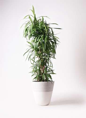 観葉植物  コルディリネ (コルジリネ) ストリクタ 10号 10号 ジュピター 白 付き