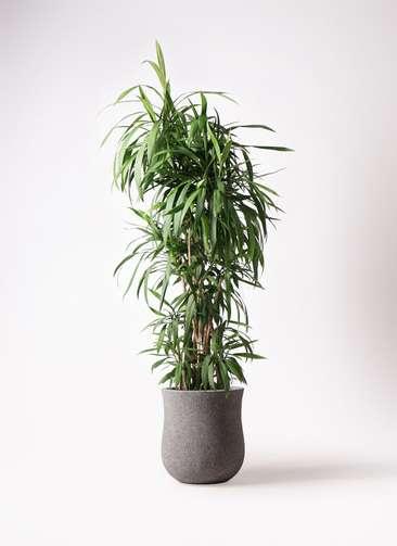 観葉植物  コルディリネ (コルジリネ) ストリクタ 10号 10号 アローナラウンド グレイ 付き