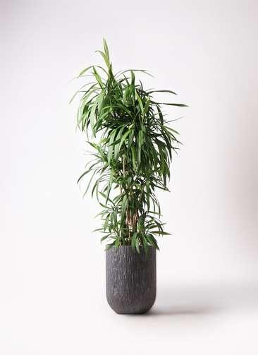 観葉植物  コルディリネ (コルジリネ) ストリクタ 10号 10号 カルディナトールダークグレイ 付き