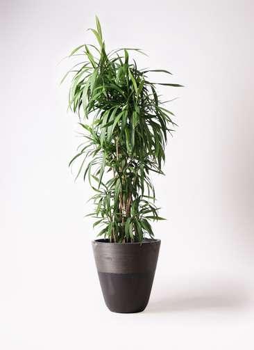 観葉植物  コルディリネ (コルジリネ) ストリクタ 10号 10号 ジュピター 黒 付き