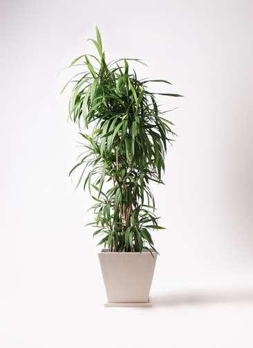 観葉植物  コルディリネ (コルジリネ) ストリクタ 10号 10号 パウダーストーン 白 付き