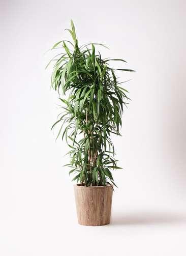 観葉植物  コルディリネ (コルジリネ) ストリクタ 10号 10号 ウッドプランター 付き