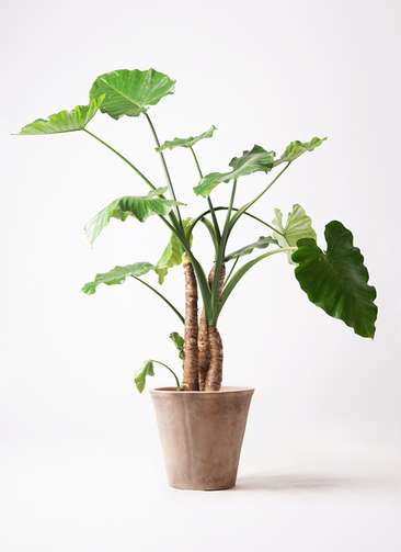 観葉植物 クワズイモ 10号 ルーガ アンティコ ソリッド 付き
