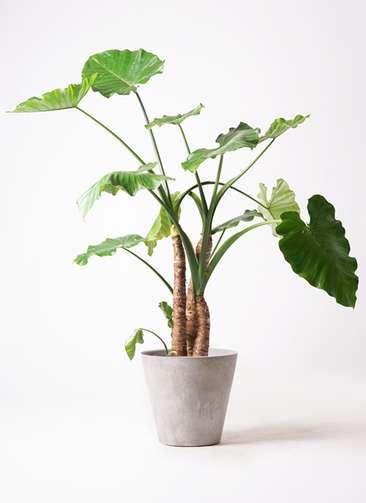 観葉植物 クワズイモ 10号 アートストーン ラウンド グレー 付き