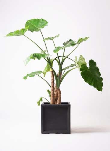 観葉植物 クワズイモ 10号 ブリティッシュキューブ 付き
