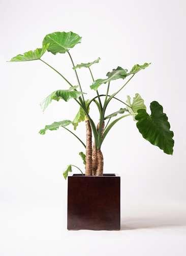 観葉植物 クワズイモ 10号 MOKU キューブ 付き