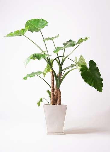 観葉植物 クワズイモ 10号 スクエアハット 白 付き