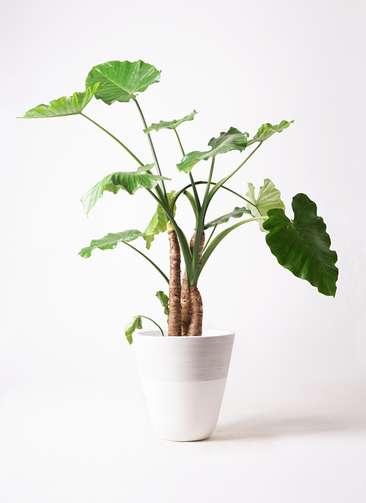 観葉植物 クワズイモ 10号 ジュピター 白 付き