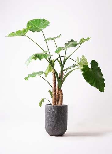 観葉植物 クワズイモ 10号 カルディナトールダークグレイ 付き