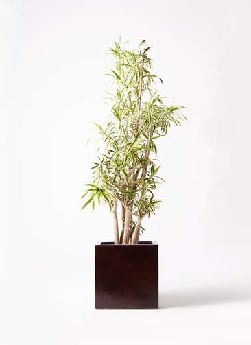 観葉植物 ドラセナ ソング オブ インディア 10号 MOKU キューブ 付き