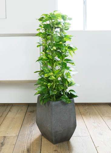 観葉植物 ポトス 8号 ファイバークレイ Gray 付き