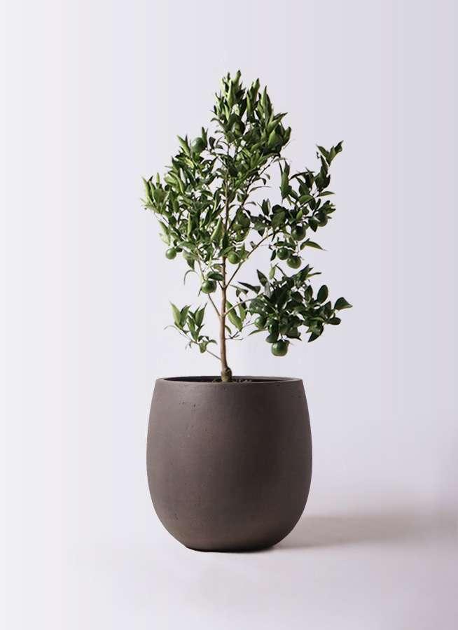 ぽんかん (ポンカン)の木 8号 テラニアス バルーン アンティークブラウン 付き