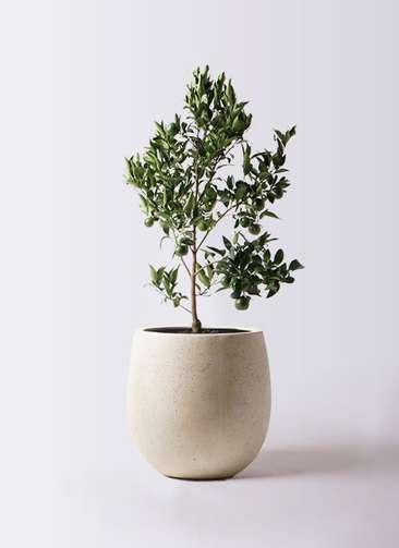 ぽんかん (ポンカン)の木 8号 テラニアス バルーン アンティークホワイト 付き