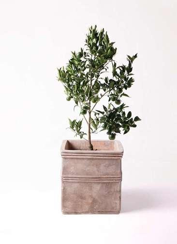 ぽんかん (ポンカン)の木 8号 テラアストラ カペラキュビ 赤茶色 付き