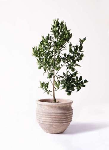 ぽんかん (ポンカン)の木 8号 テラアストラ リゲル 赤茶色 付き