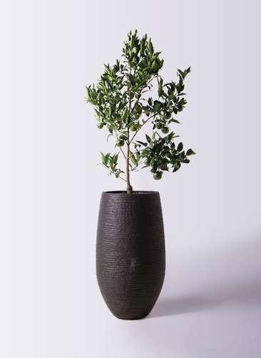 ぽんかん (ポンカン)の木 8号 フォンティーヌトール 黒 付き
