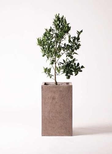 ぽんかん (ポンカン)の木 8号 セドナロング グレイ 付き