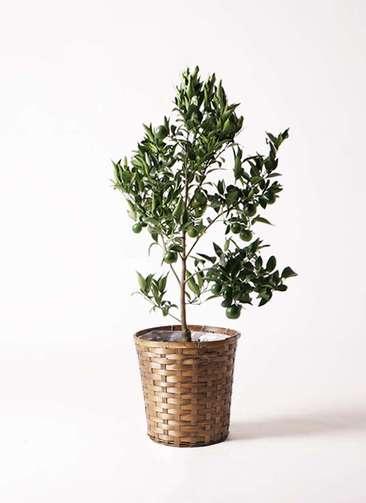 ぽんかん (ポンカン)の木 8号 竹バスケット 付き