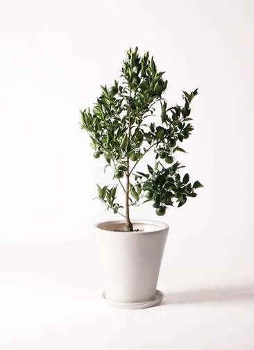 ぽんかん (ポンカン)の木 8号 サブリナ 白 付き