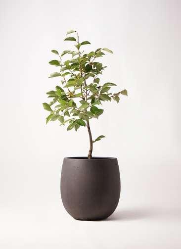 柿の木 8号 次郎 テラニアス バルーン アンティークブラウン 付き