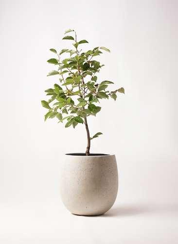 柿の木 8号 次郎 テラニアス バルーン アンティークホワイト 付き